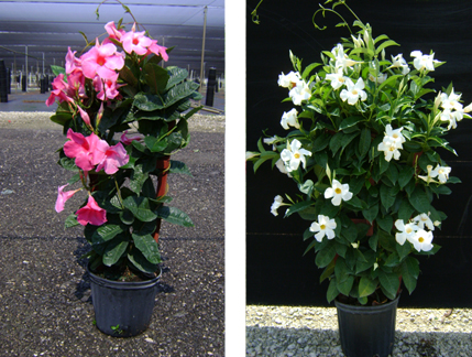 These Dramatic Garden Patio Plants Add A Beautiful, Tropical Feeling To Any  Patio Or Deck Area.